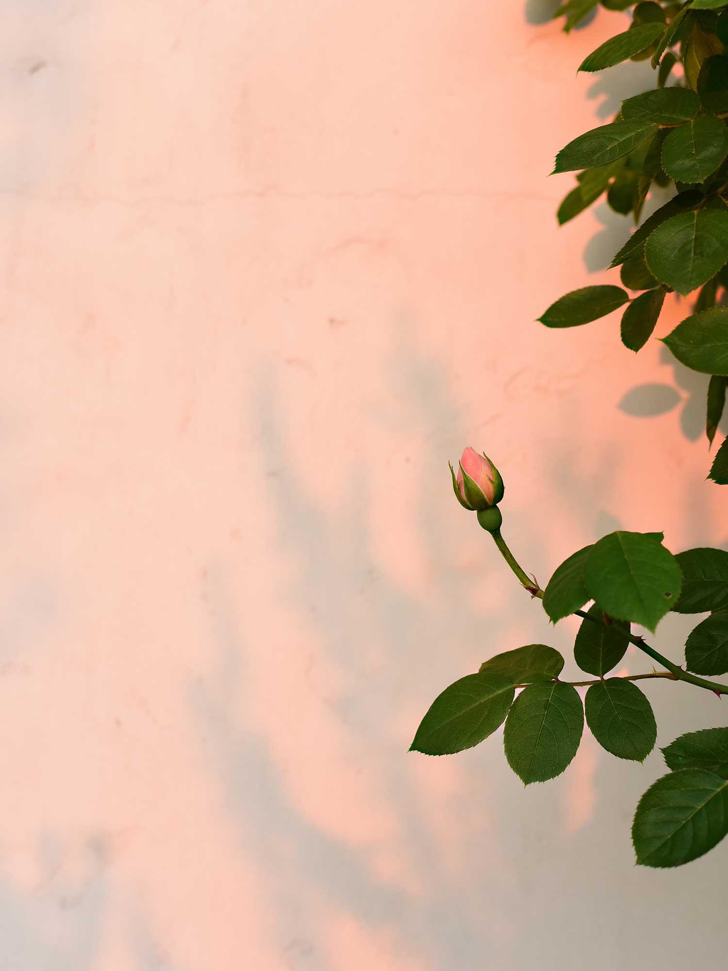 夕陽の中の薔薇